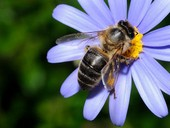 abeja azul