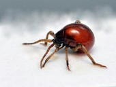escarabajo araña