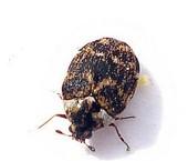 escarabajo de museo