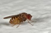 mosca del vinagre