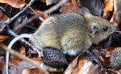 ratón del campo