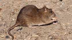 rattis norvegicus7