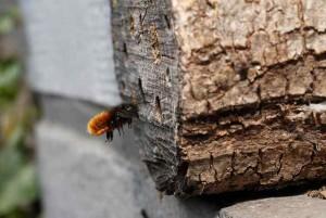 Artificial bee nest with Osmia cornuta
