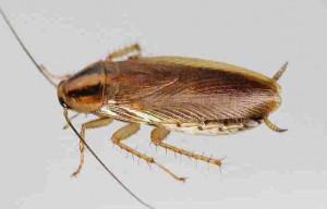 cucaracha germanica nueva15