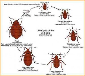 ciclo de vida de la chinche